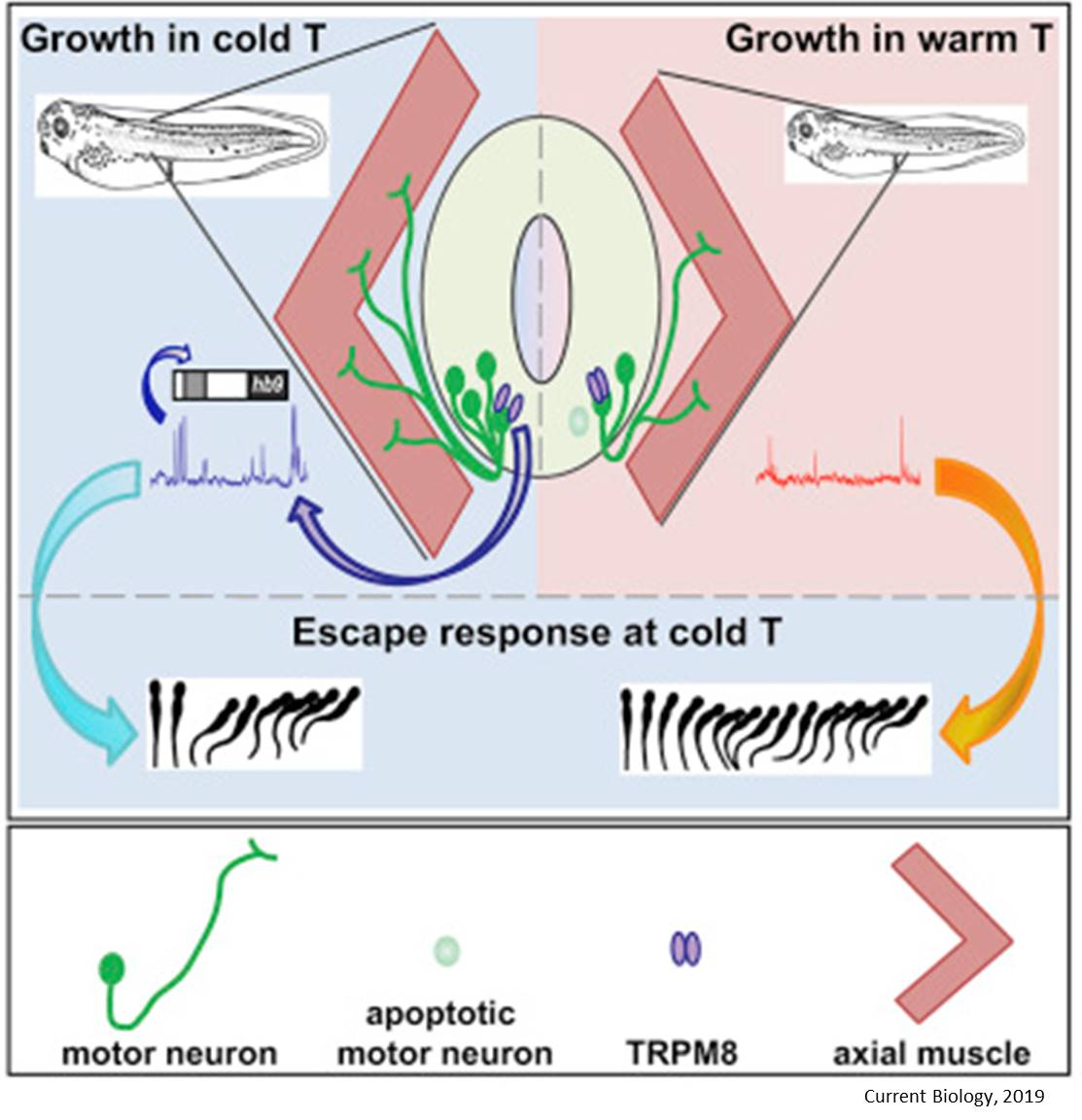 Temperature alters developing nervous system