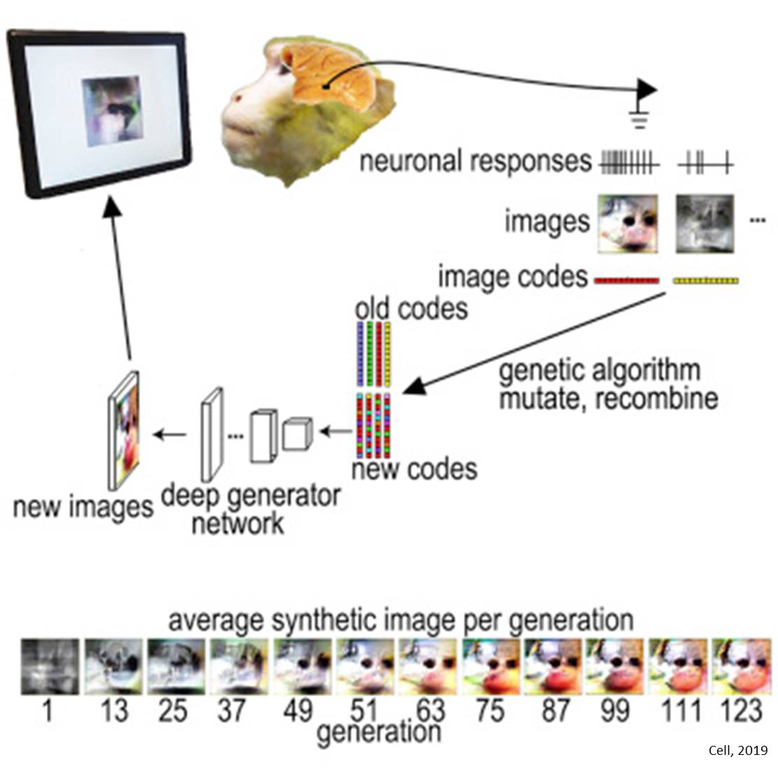 Images designed by AI to super-stimulate monkey neurons