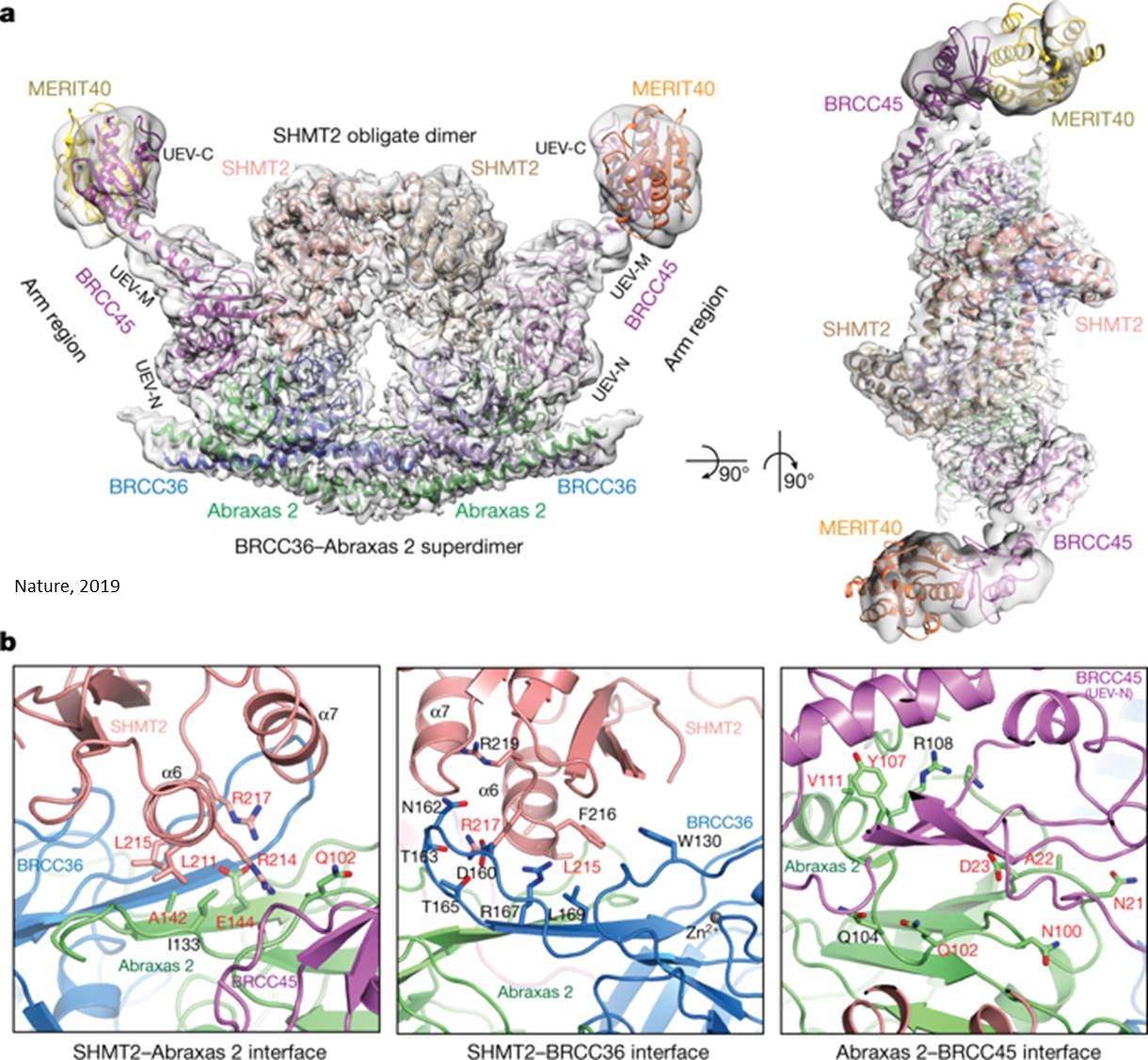 Protein complex structure explains how an immune system become overactive