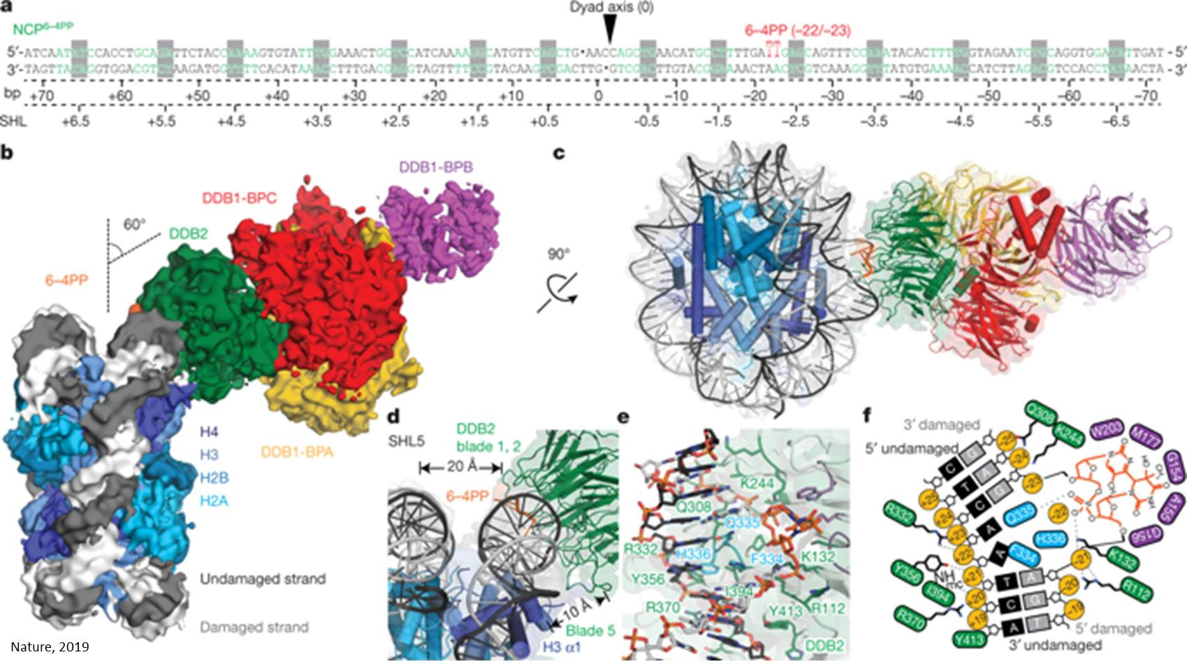 A new mechanism for accessing damaged DNA