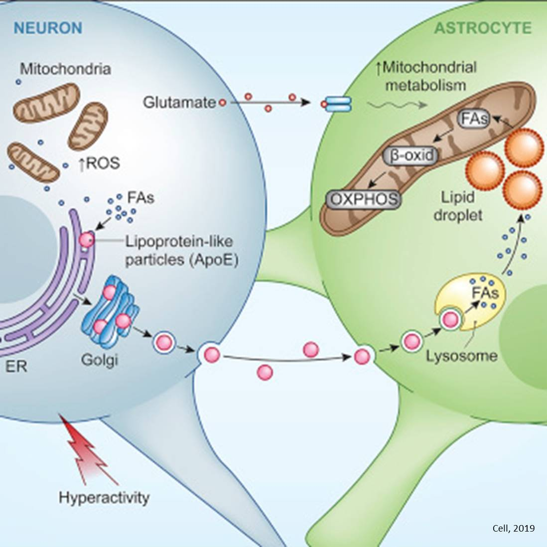 Toxic fatty acid buildup removal by astrocytes to protect neurons