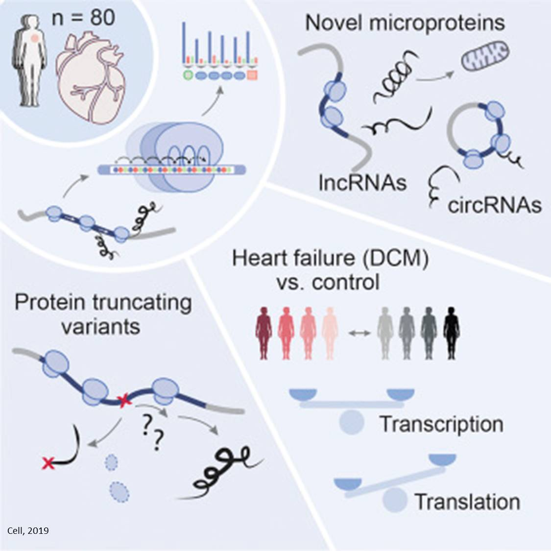 Microproteins from ncRNAs and circRNAs produced in human heart