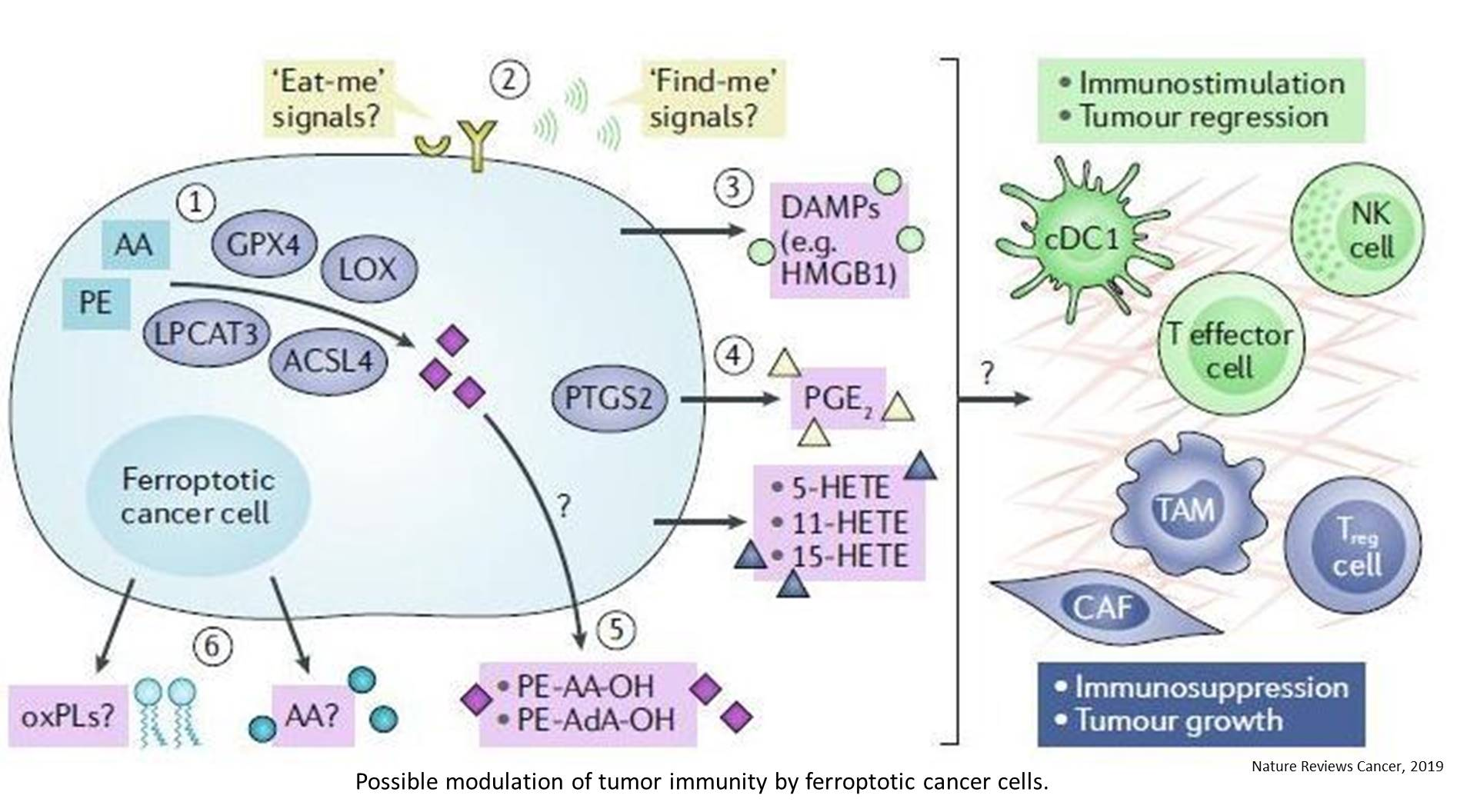 Role of ferroptosis in the development of cancer