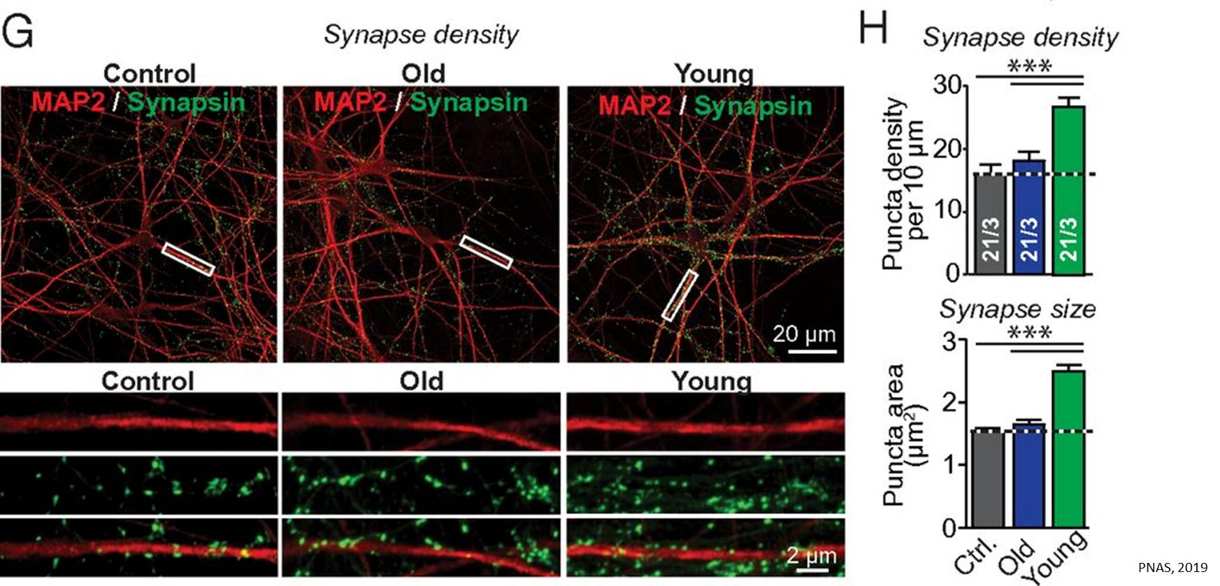 Synapse-boosting factors in young blood