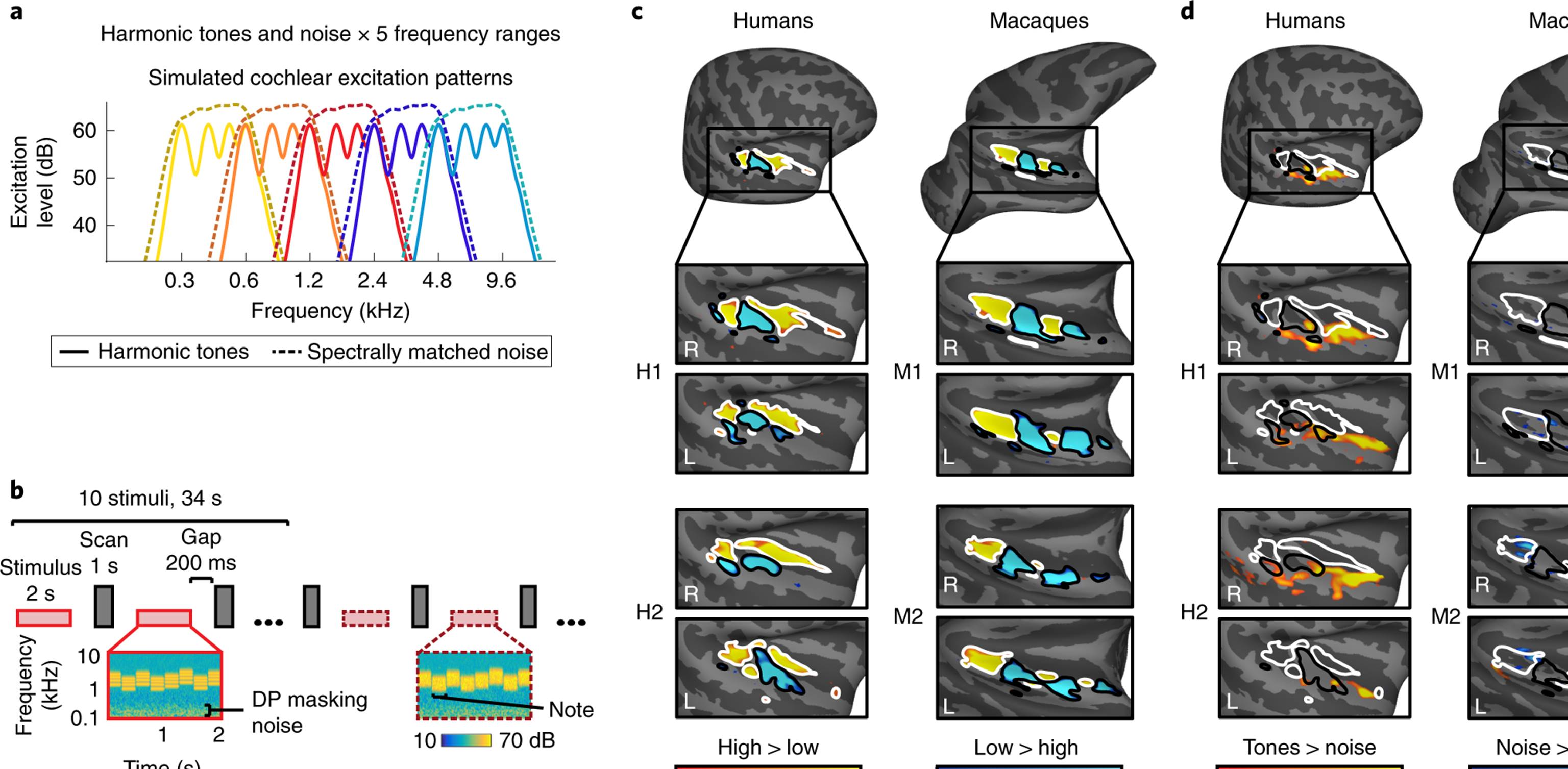 Why our brain is sensitive to musical pitch compared to monkeys