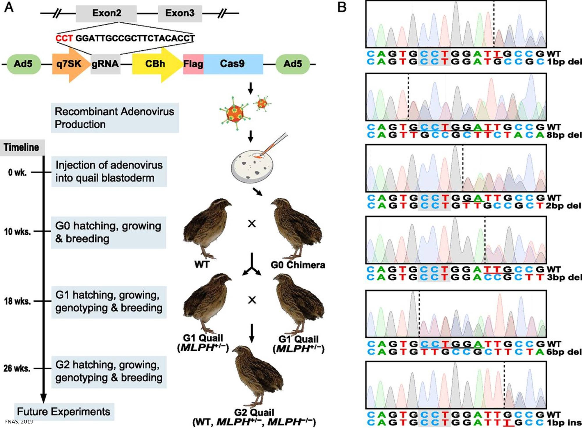 Targeted CRISPR knockouts in quail eggs
