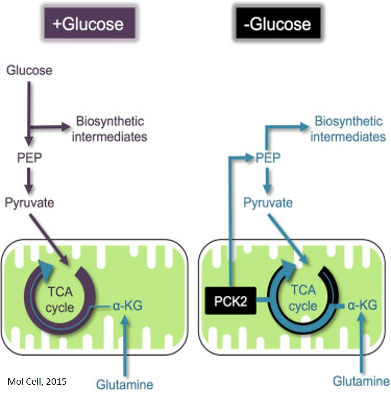 Glucose-Independent Tumor Growth by Mitochondrial Enzyme