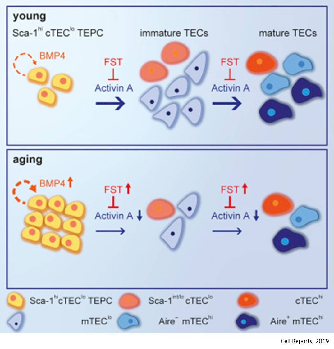 Mechanism of immune system aging