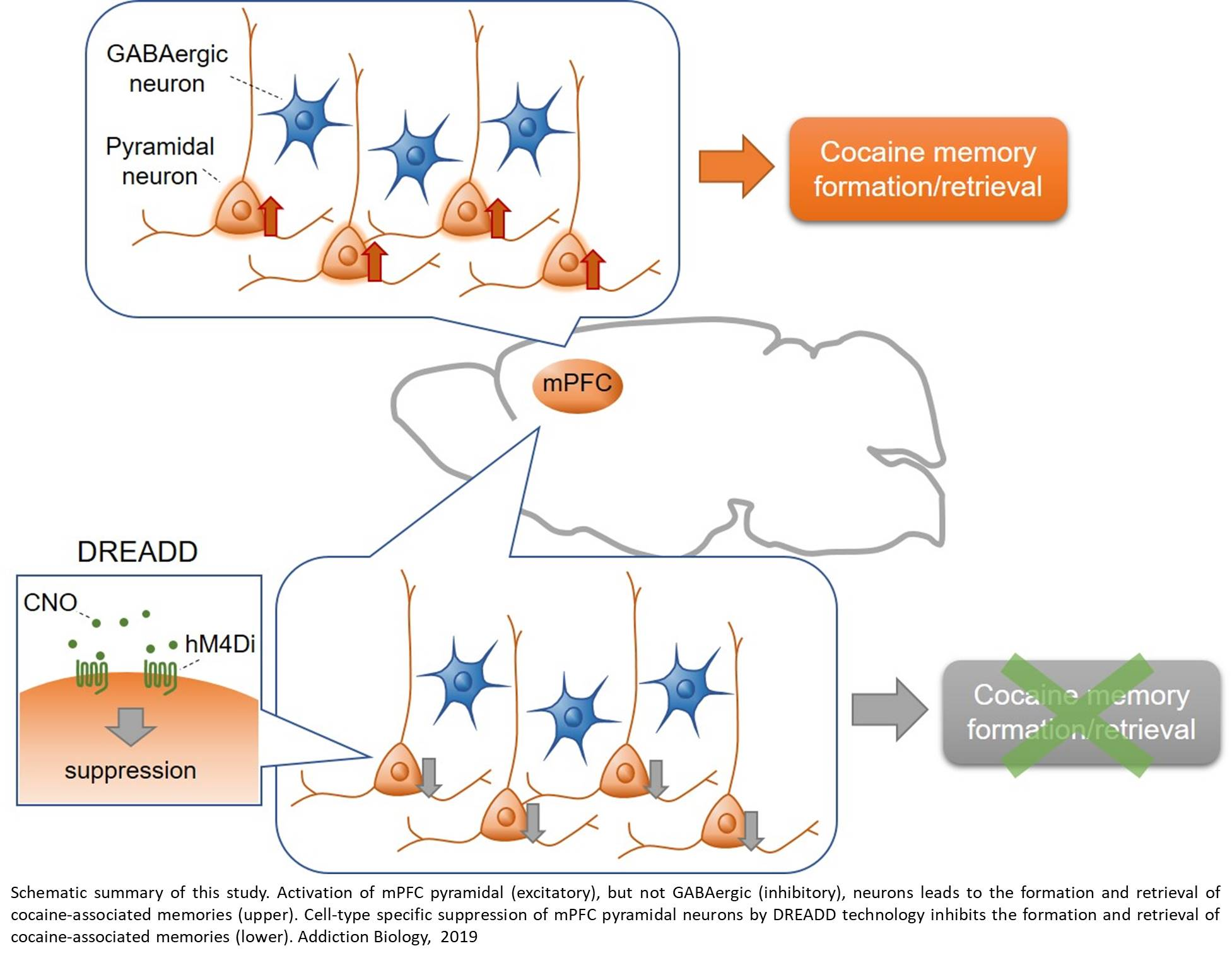 Cell-type specific mechanism for formation and retrieval of cocaine-associated memories