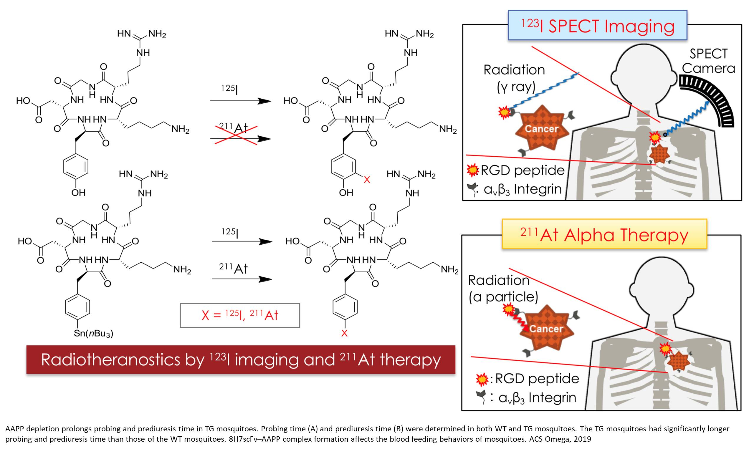 Radioisotope couple for tumor diagnosis and therapy