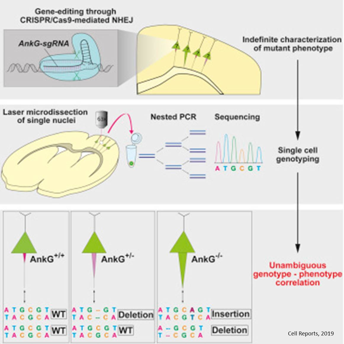 A new gene editing strategy links phenotype to genotype in neurons