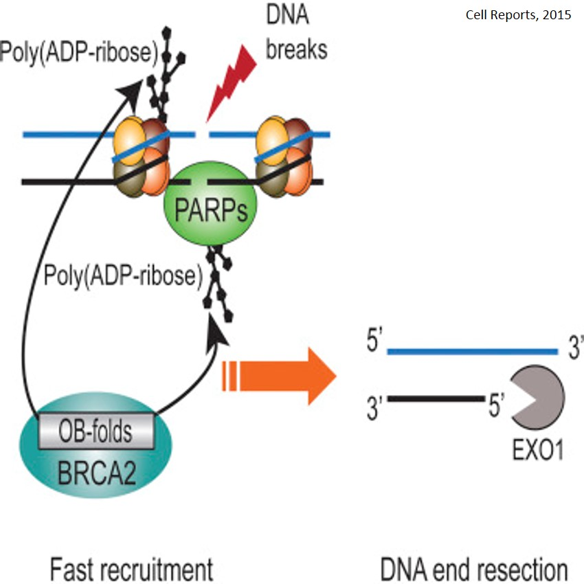 Role of BRCA2 in DNA Repair
