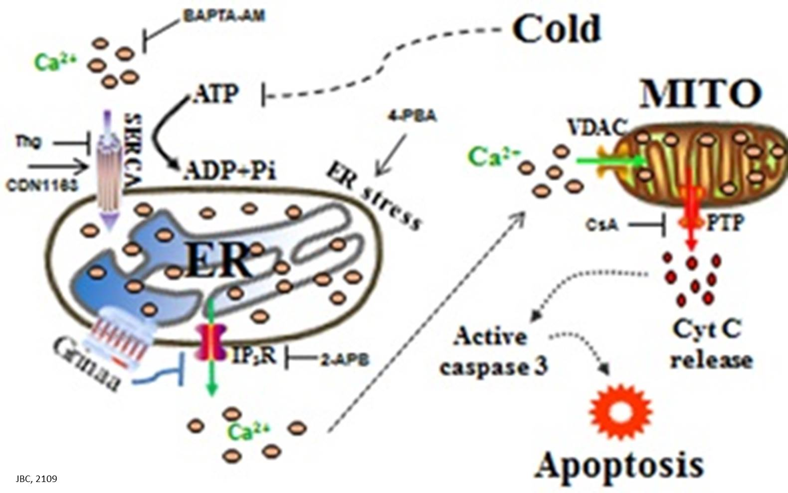 Intracellular Mechanisms of Cold-induced Apoptosis