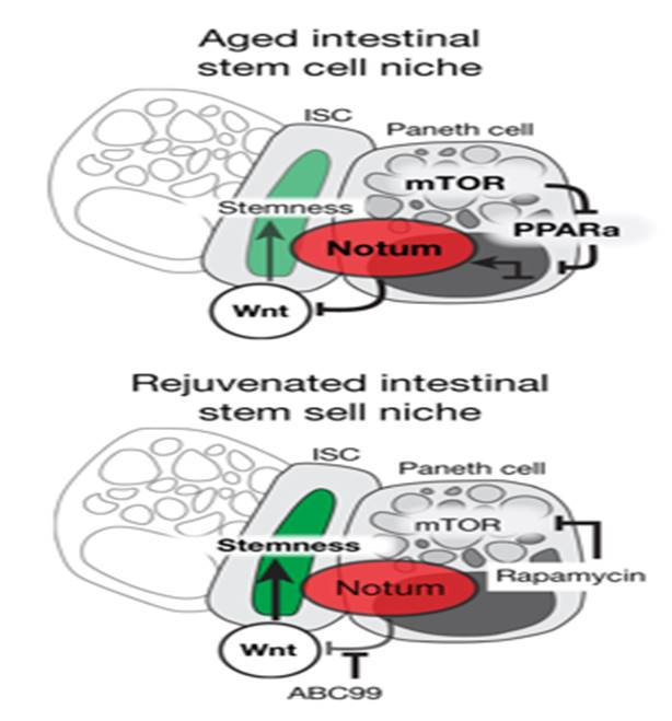 Neighboring cells inhibit regeneration of aged intestinal epithelium