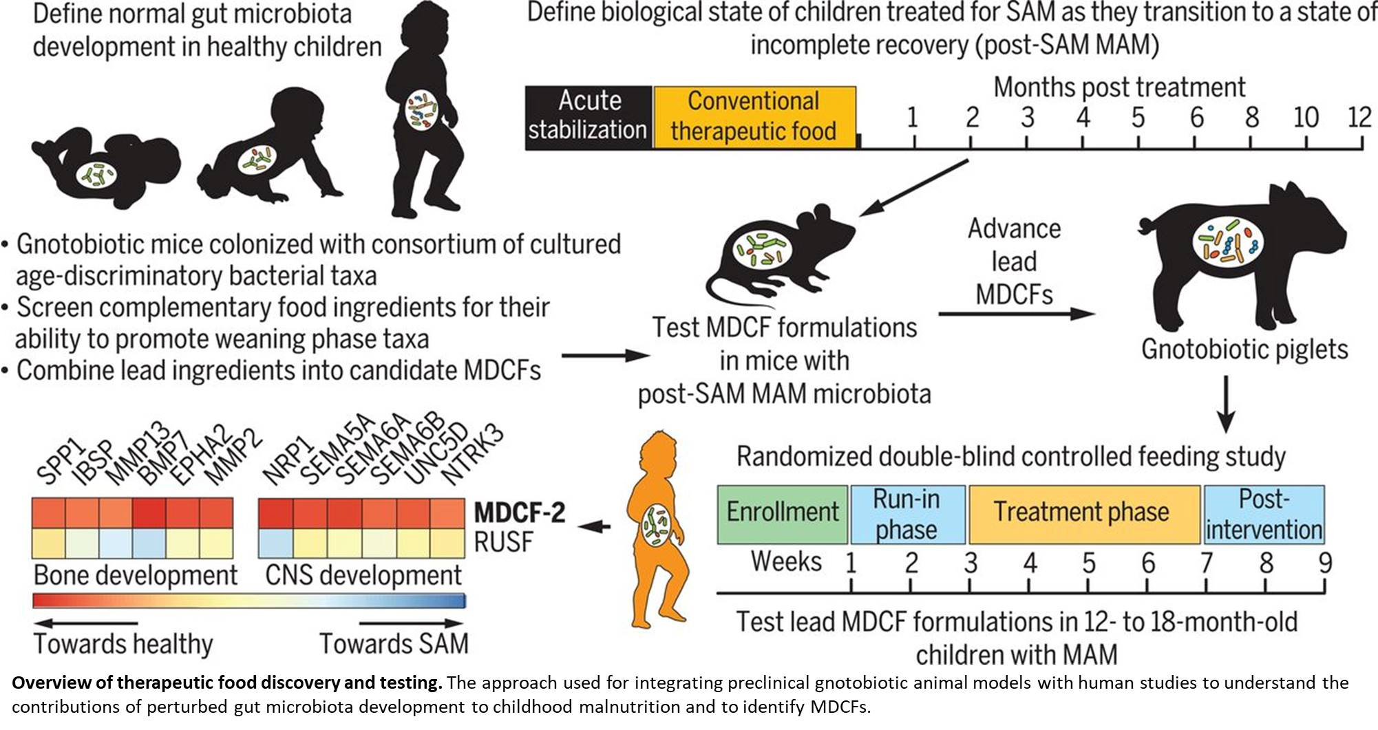 Targeting gut microbes to treat undernourished children