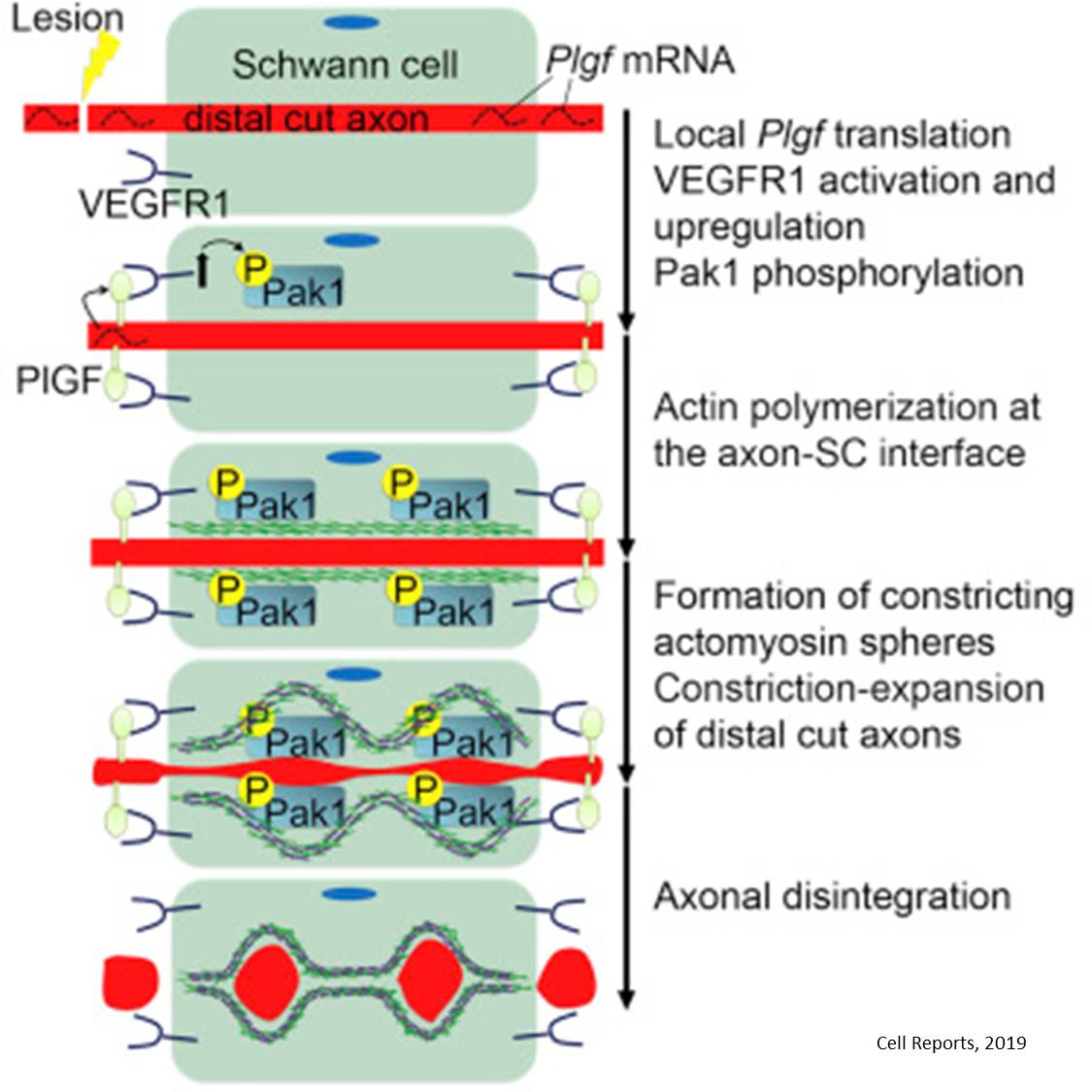 Mechanism to remove the injured axons to facilitate nerve regeneration in peripheral nervous system