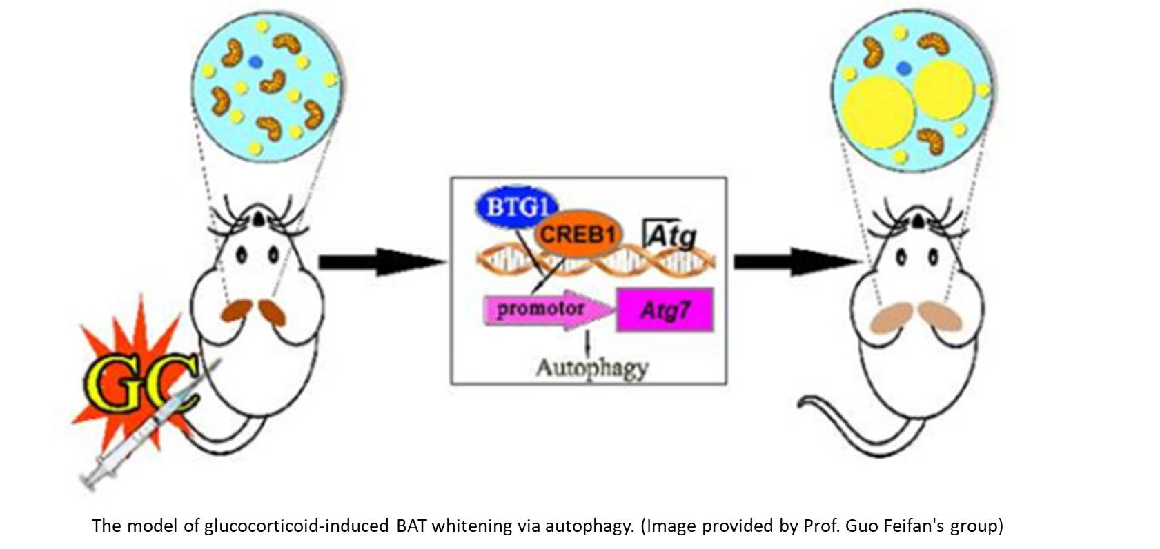 Role of Autophagy in Glucocorticoid-Induced BAT Whitening