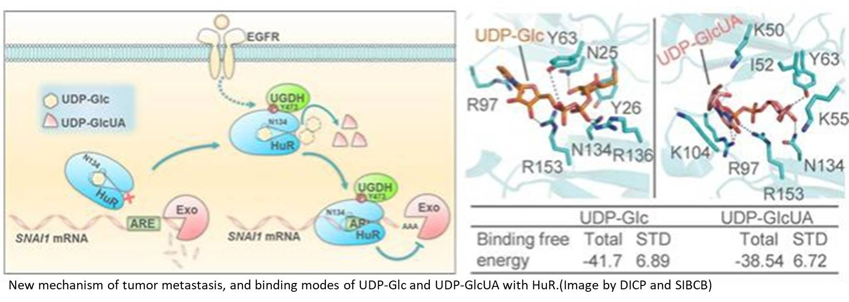 Mechanism of Tumor Metastasis and Tumor-suppressive Role of UDP-glucose Revealed