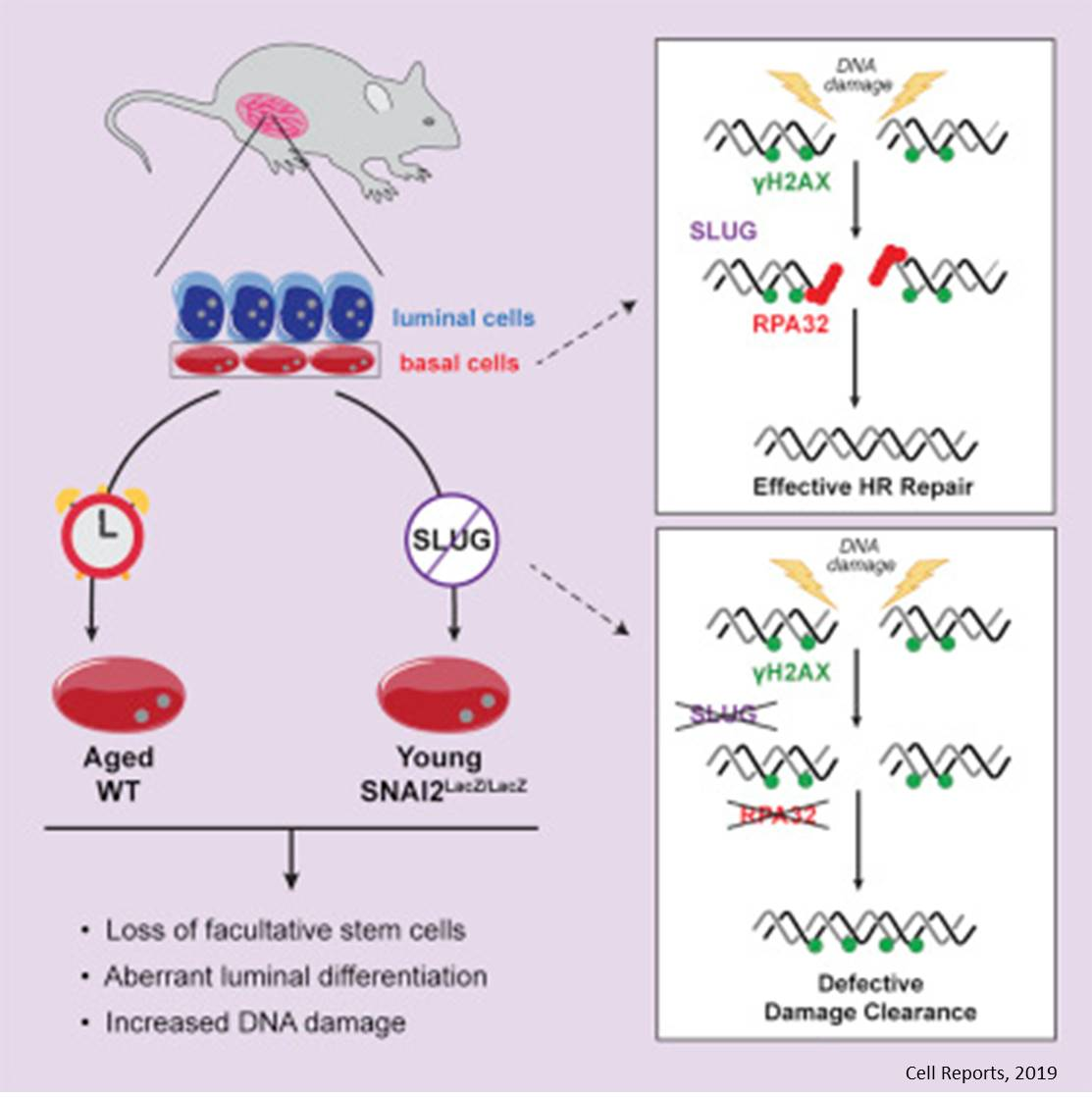 A transcription factor keeps breast stem cells healthy by promoting repair of DNA damage