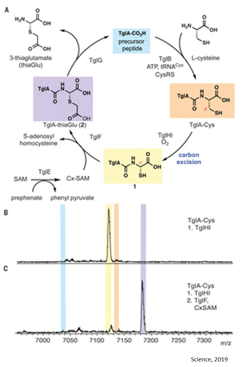 Bacterial natural product from an amino acid independent of the ribosome