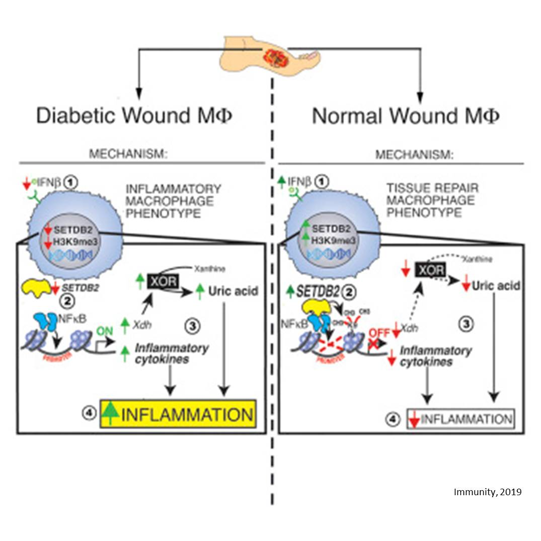 A mechanism that prevents wound healing in diabetes