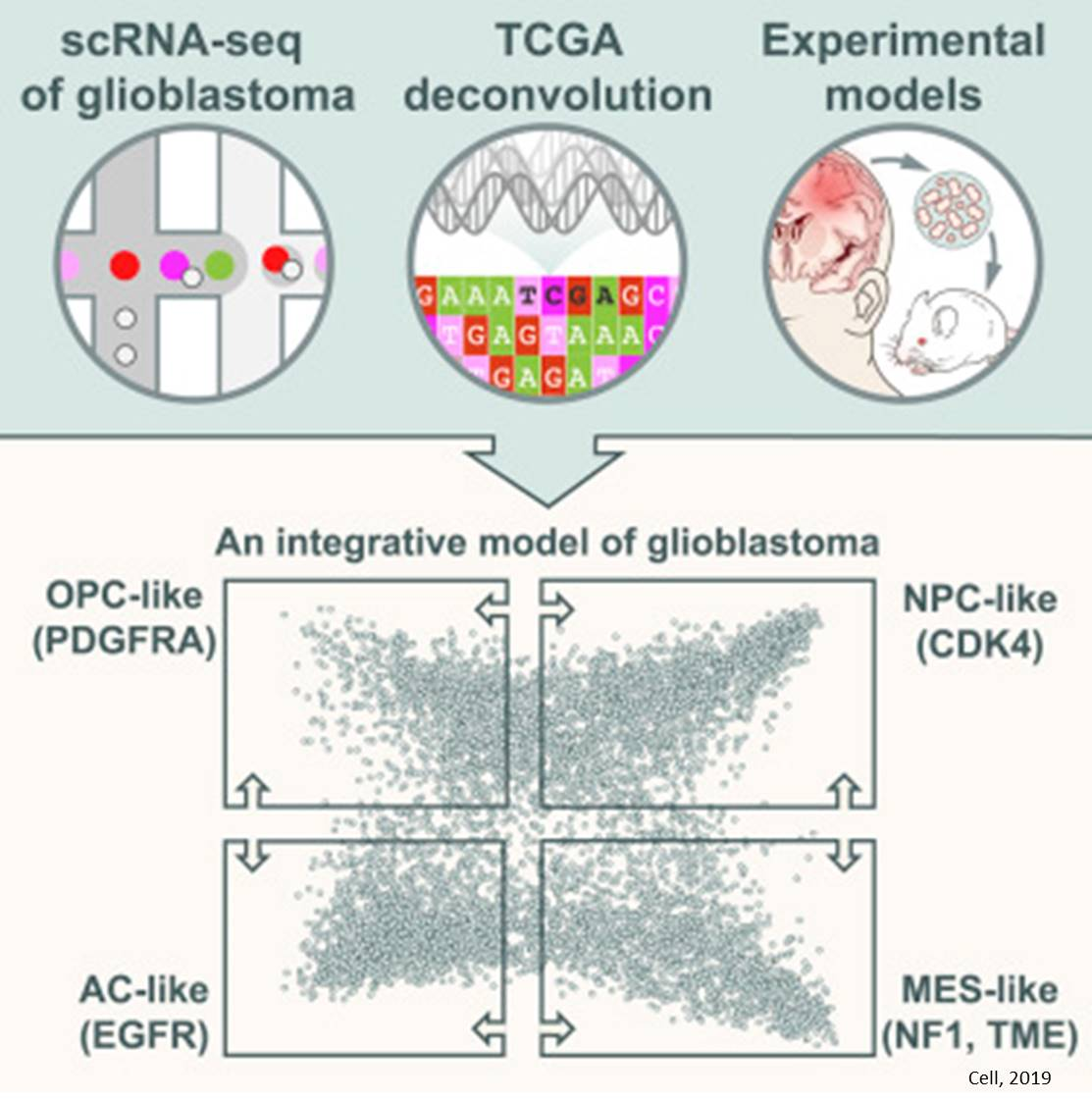 Single-cell sequencing reveals glioblastoma's shape-shifting nature