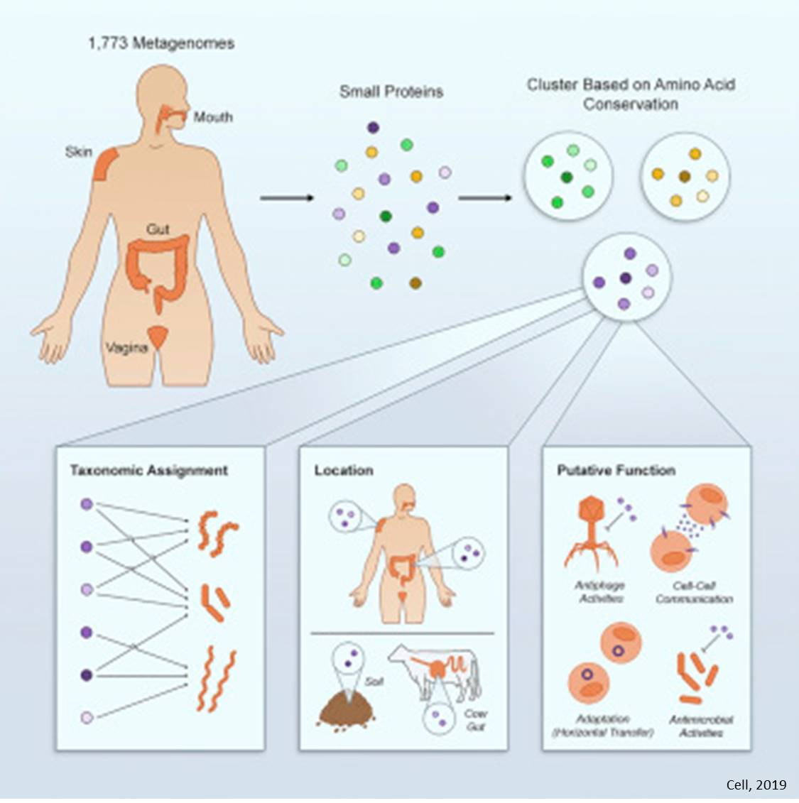 Human microbiome produces thousands of tiny novel proteins