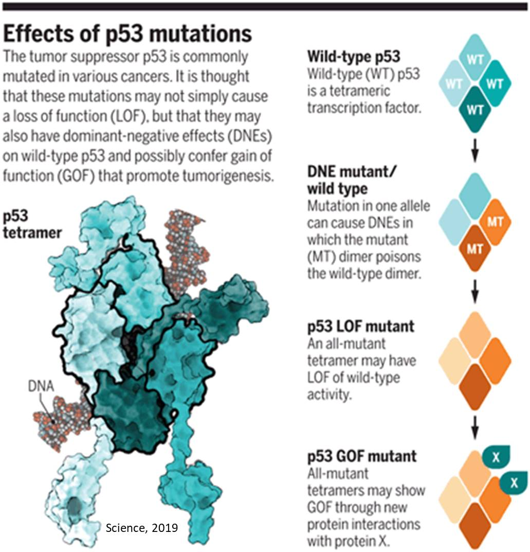Types of TP53 mutations and their affect in cancer
