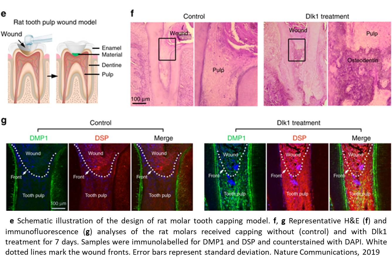 A new mechanism of tooth repair