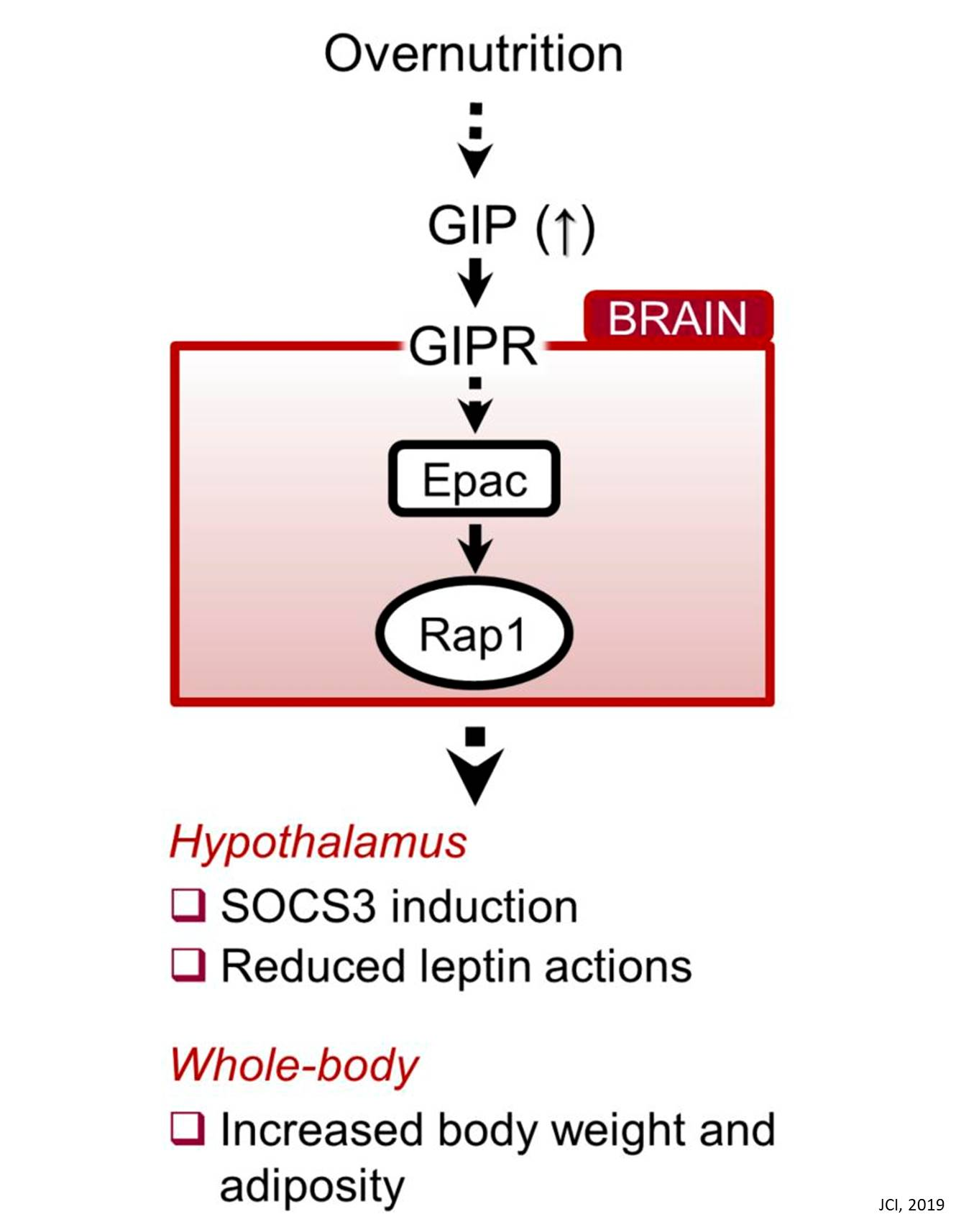 Gut-brain connection helps explain how overeating leads to obesity