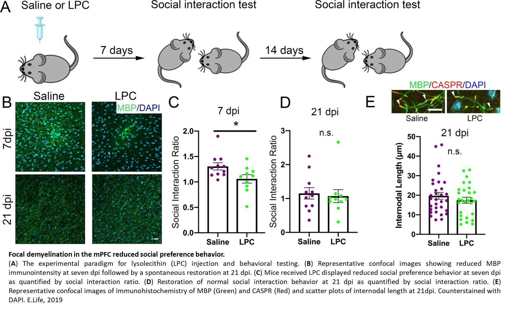 Region specific myelin changes implicated in social stress