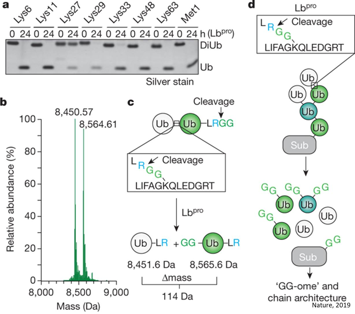 Ubiquitin-clipping technique to provide insights into ubiquitin signaling