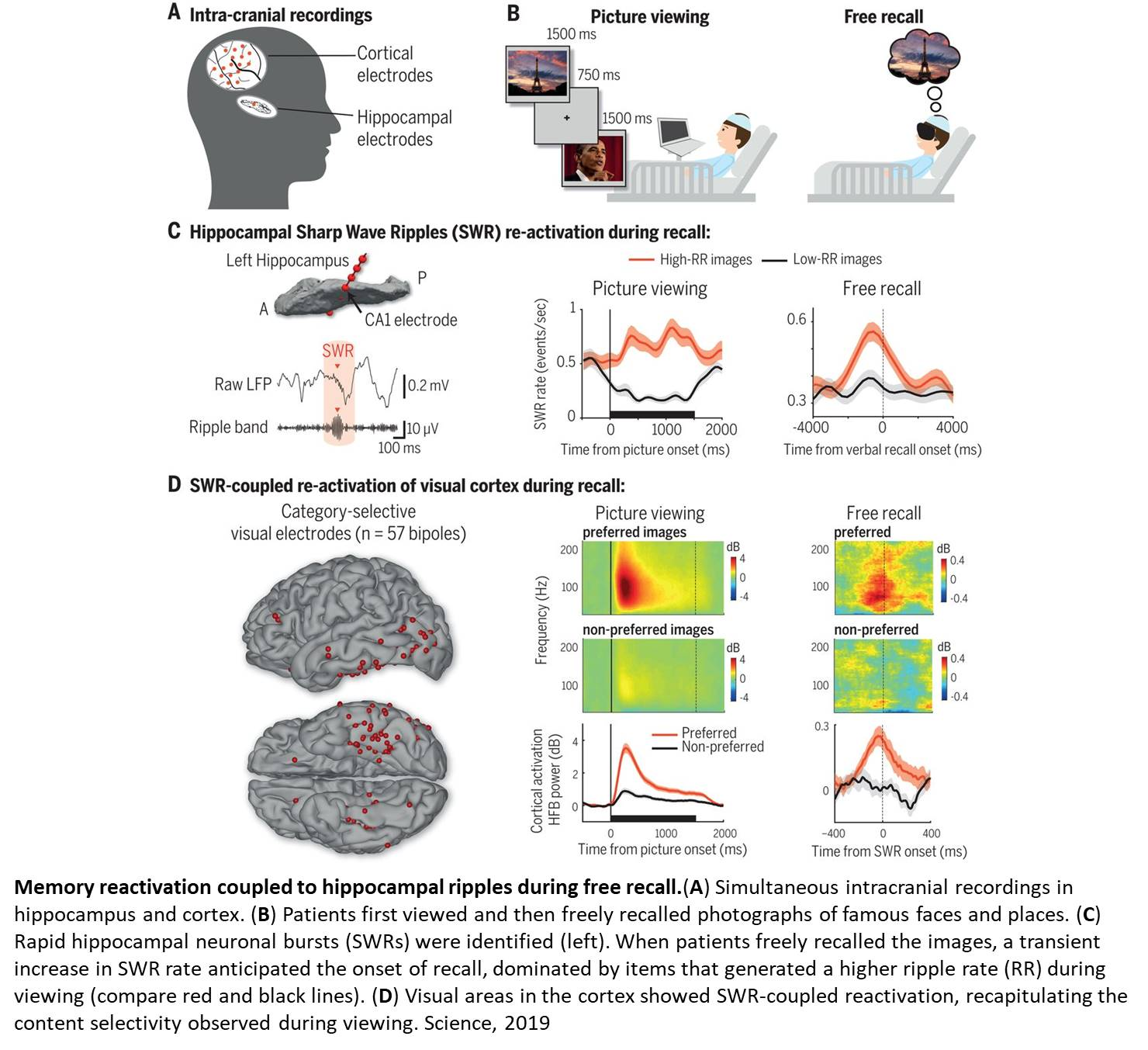 Hippocampal ripples in human memory formation and recall!