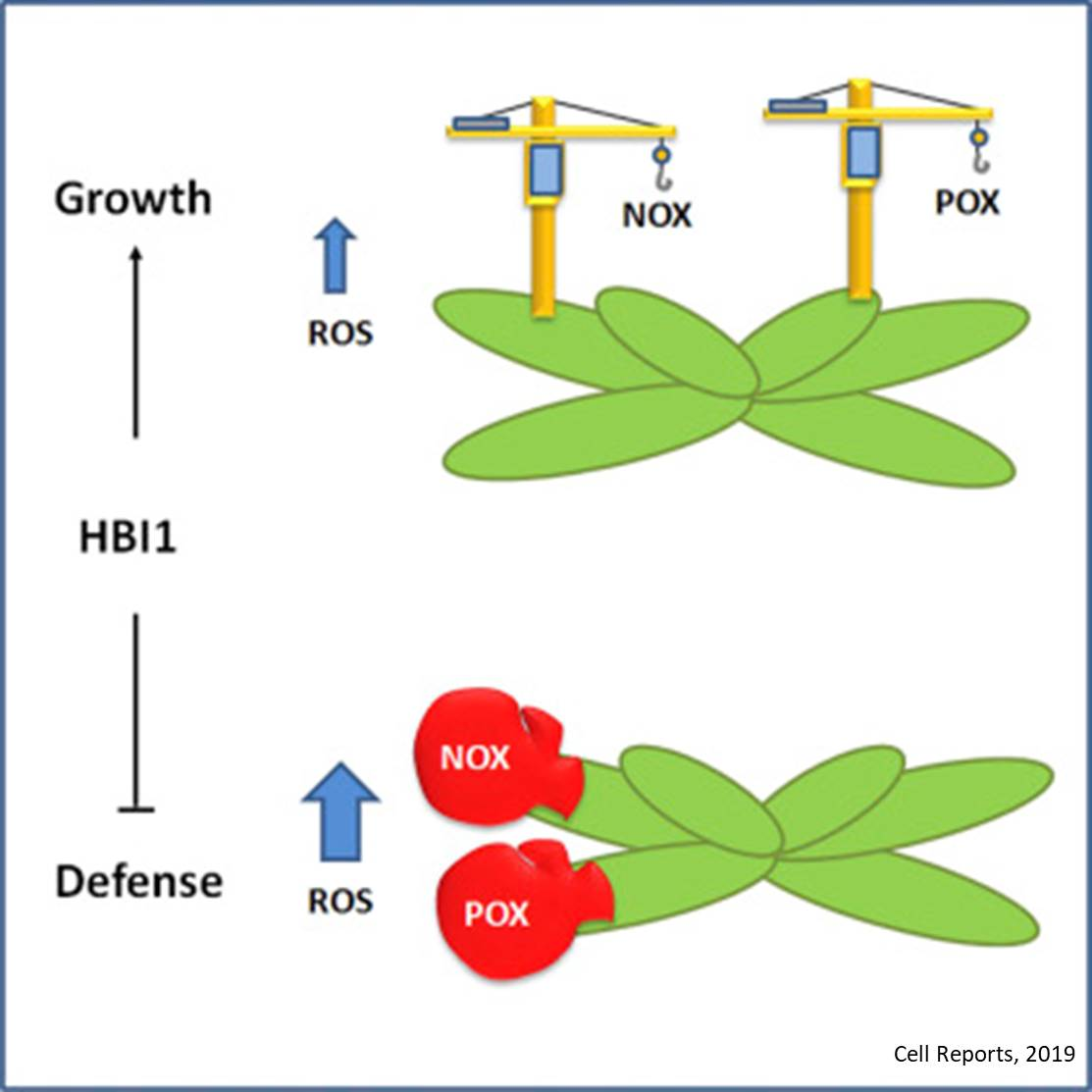 How plants decide between growth or defense
