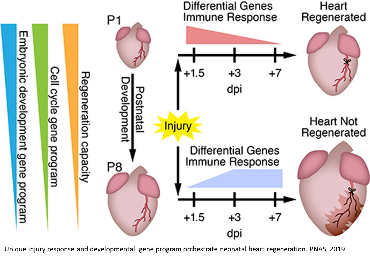 Transcriptional landscape of neonatal heart regeneration