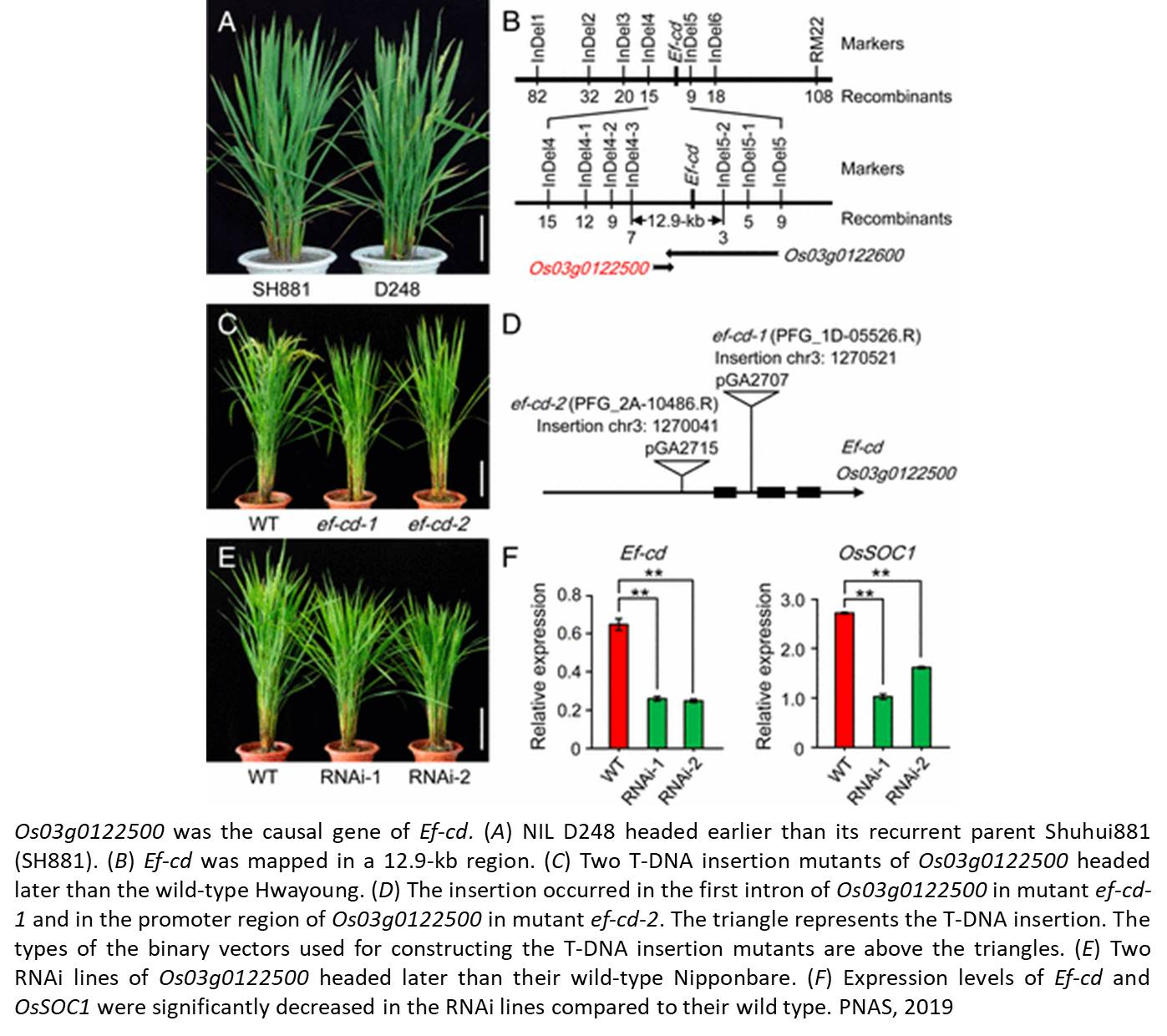 Decreasing rice maturity time without affecting yield