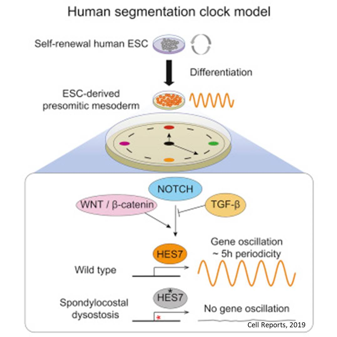 Human Segmentation Clock In Vitro Model from Embryonic Stem Cells