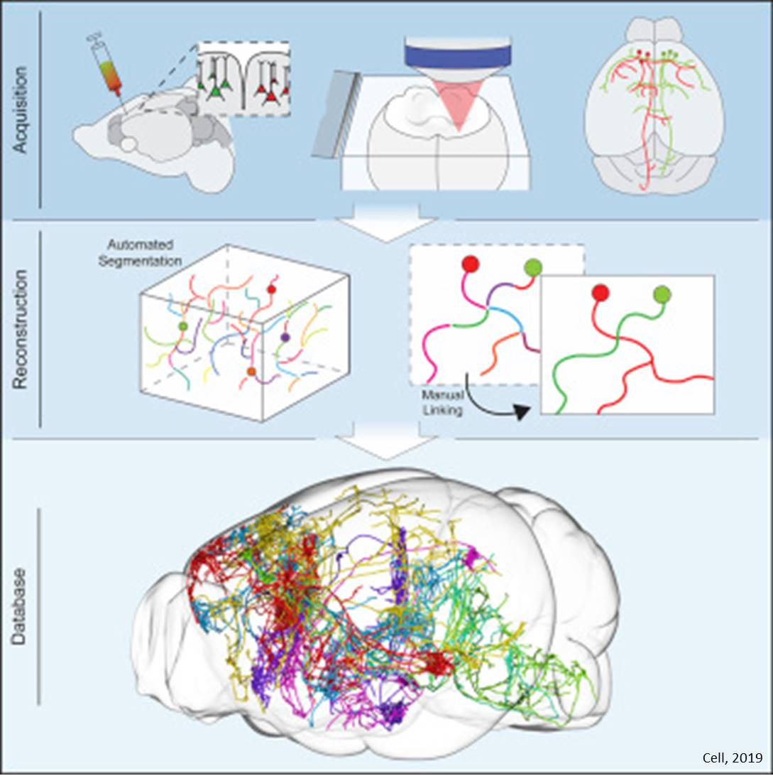 Identification of New Cell Types and Organization of Long-Range Connectivity in the Mouse Brain