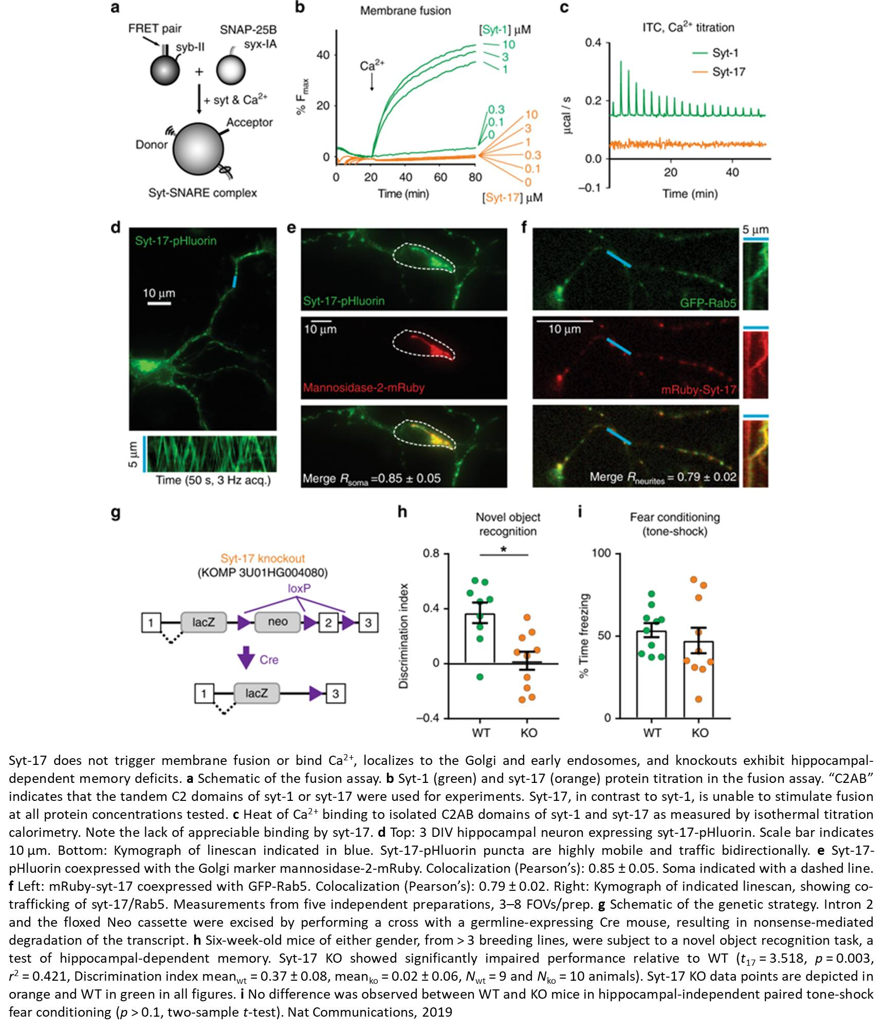 Dual and opposing role for a single protein in the brain