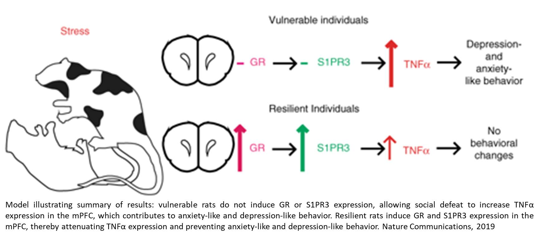 Receptor Protein in Brain Promotes Resilience to Stress