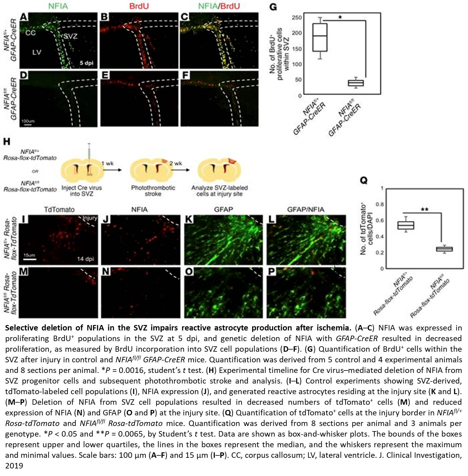 Nuclear factor I-A regulates diverse reactive astrocyte responses after CNS injury