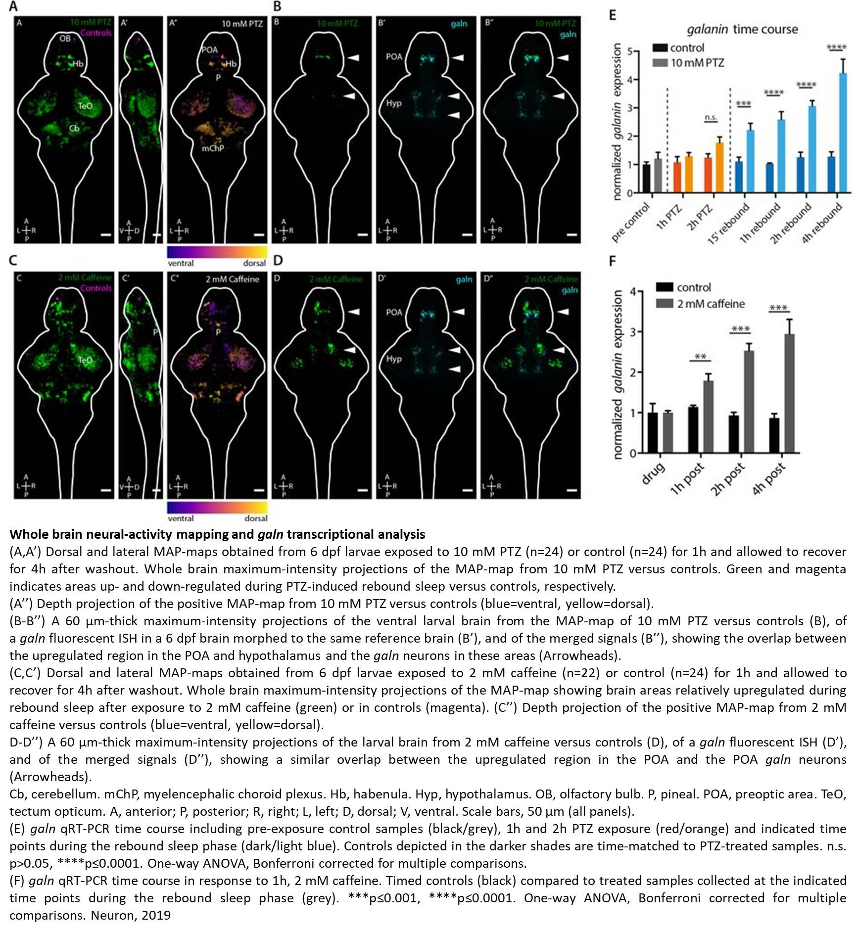 Sleep rebound following increased neuronal activity is linked to a neuropeptide,  galanin