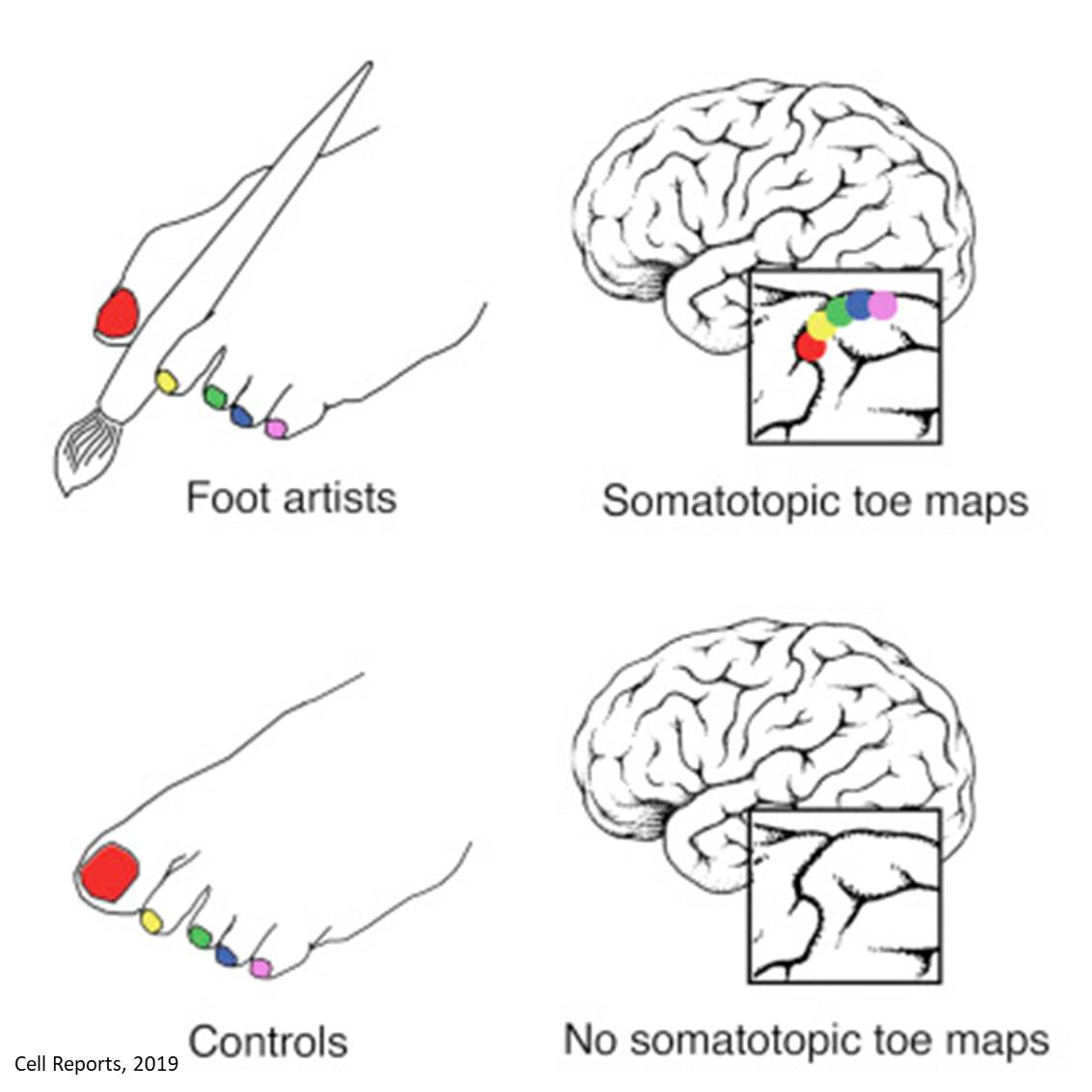 Feet map of the toe artist is mapped in the brain!
