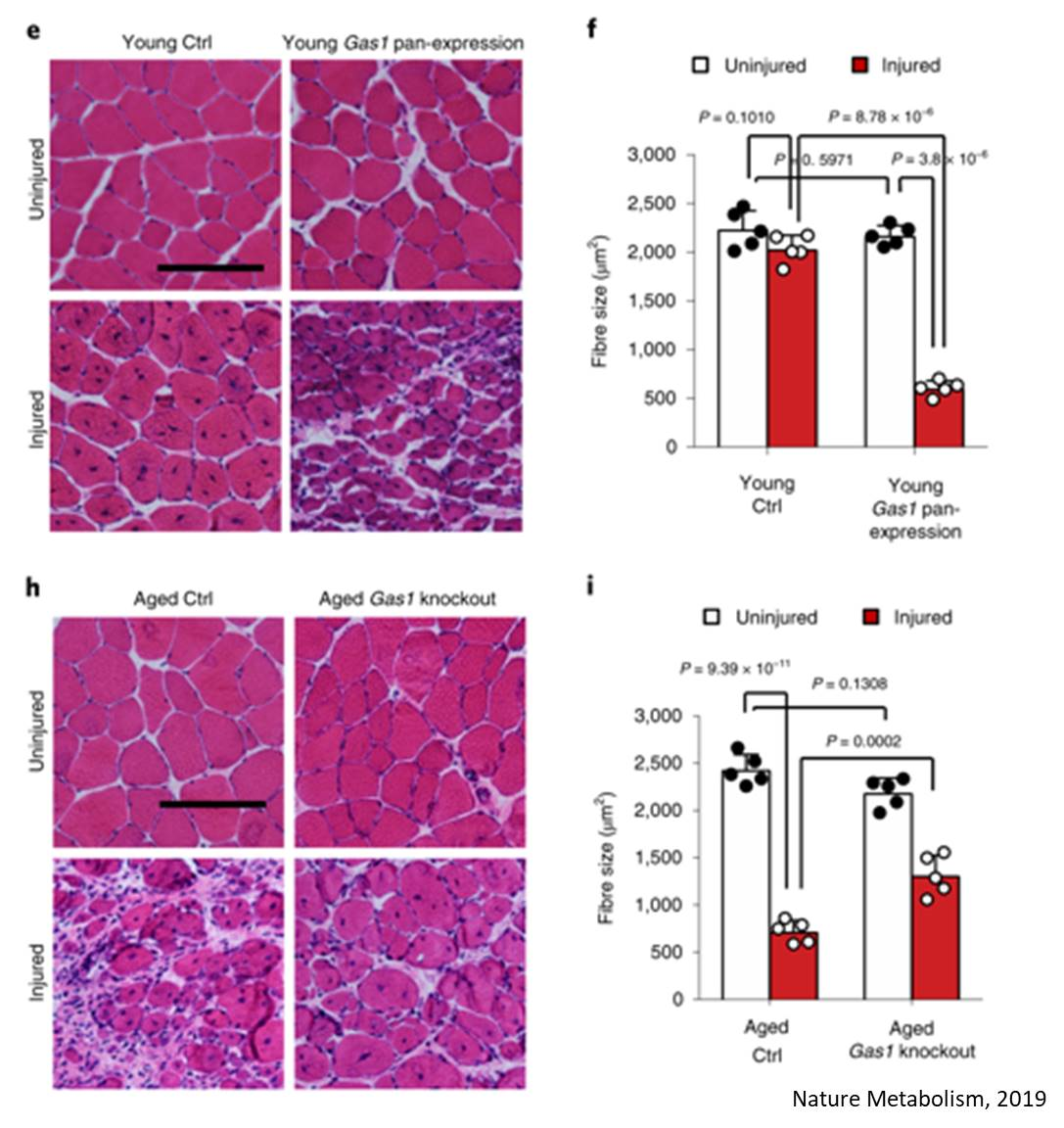 Reversing muscle stem cell suppression in aged muscles
