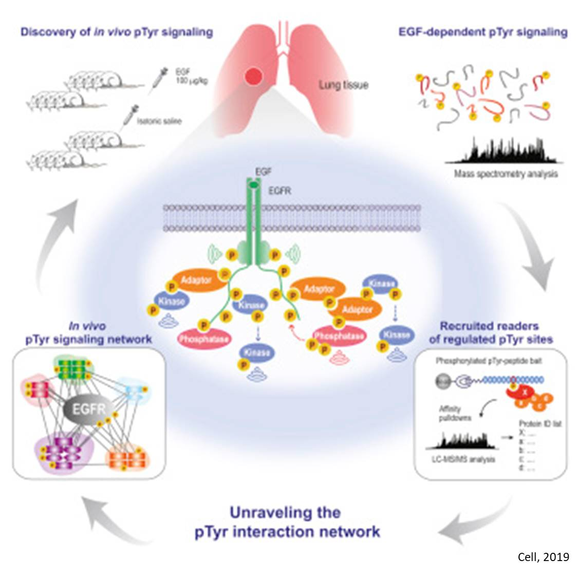 Rewiring of signaling networks in lung tumors