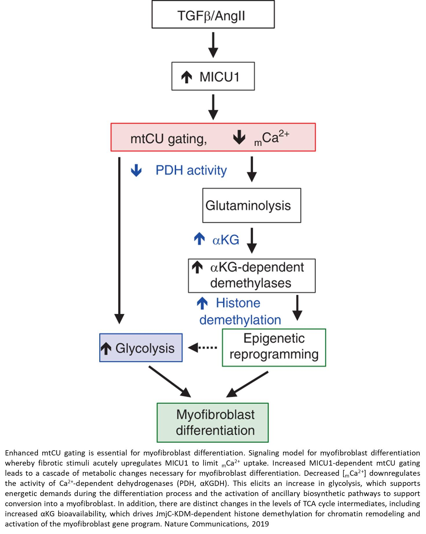 Linking metabolism with the epigenome to control cellular differentiation via mitochondrial calcium exchange