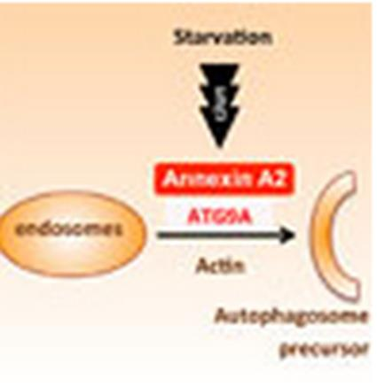An alternative pathway for starvation-induced autophagy