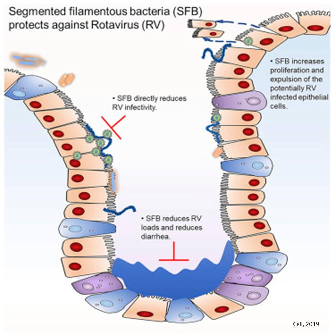 Segmented Filamentous Bacteria, or SFB in the gut can prevent and cure rotavirus infection