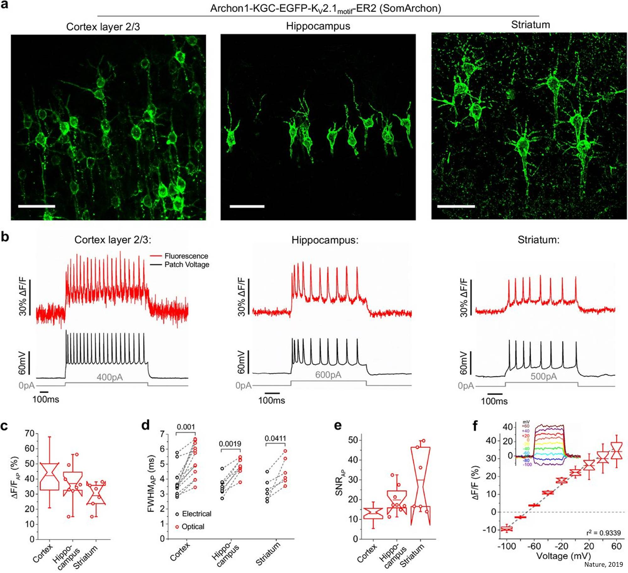Visualizing the circuits and neuronal activity in animals using fluorescent probes