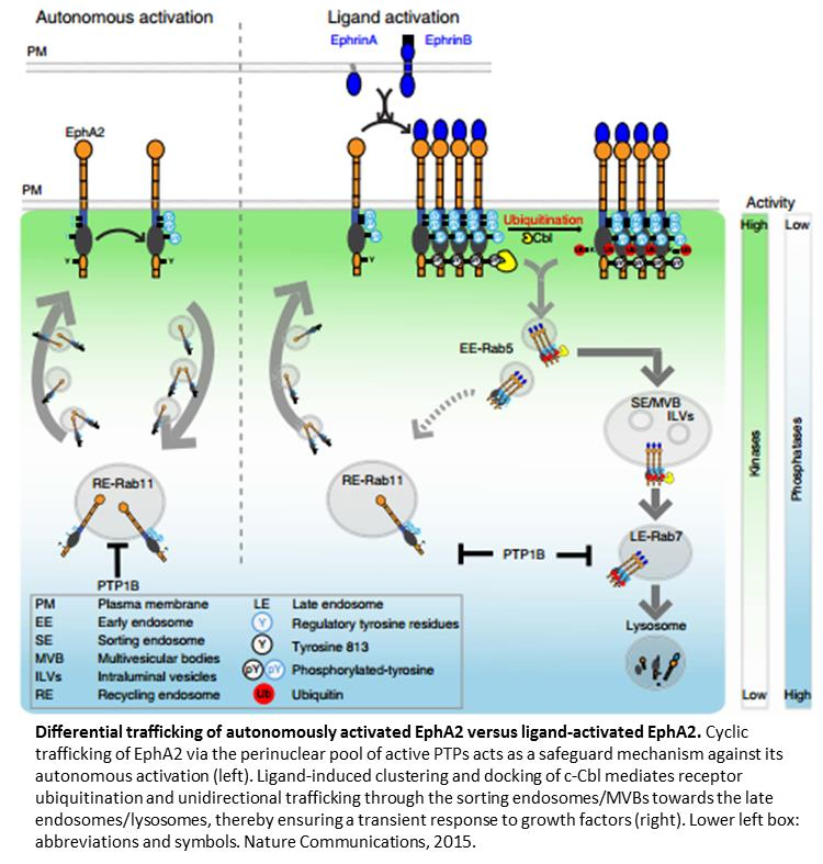 Regulation of auto and ligand induced activation of receptors